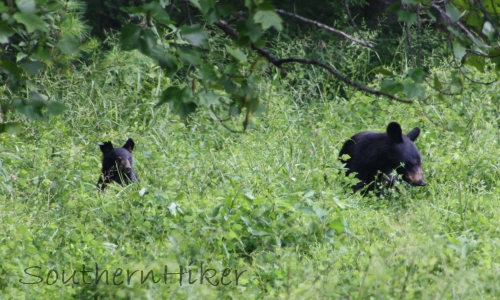 Black Bear and Cub in Cades Cove, Smoky Mountains