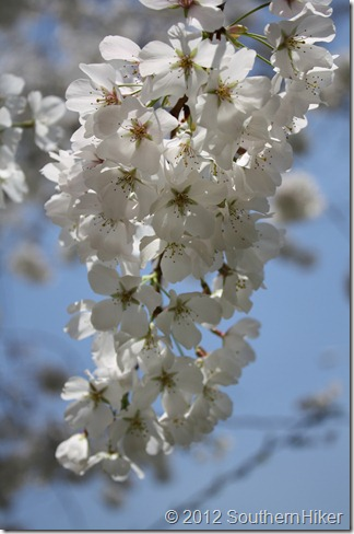 Macon Cherry Blossom &#8211; Macon Georgia